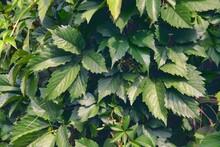 Virginia Creeper Parthenocissus Quinquefolia Green Leaves Covering A Wall Close-up.