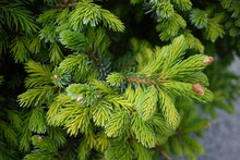 Picea Glauca (the White Spruce) Is A Species Of Spruce Native To The Northern Temperate And Boreal Forests In North America.
