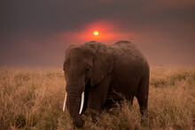 Elephant Standing On Field Against Sky During Sunset