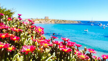 Close-up Of Pink Flowering Plants By Sea Against Clear Sky