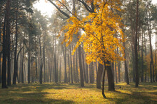 Alone Tree With Yellow Leaves In Autumn Forest