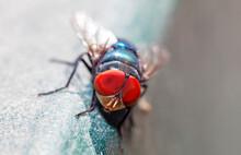 Macro Photo Of A Green Bottle Fly