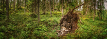 Northern Forest Landscape With Fallen Tree Roots, Wild Deep Forest