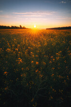 Vertical Shot Of A Field With Yellow Wildflowers At Scenic Sunset