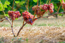 Bunches Of Ripe Grapes On The Grapevine In The Garden