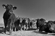 Portrait Of Cows Standing On Field Against Sky