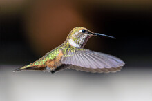 Anna's Hummingbird, Calypte Anna, In Flight