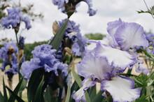 Closeup Shot Of Blooming Purple Iris Flowers