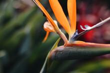 Closeup Shot Of A Bird Of Paradise Flower