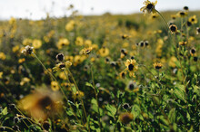 Wild Field With Blooming Yellow Flowers