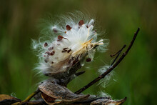 Milkweed Plant With Seeds And Pods