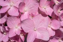 Beautiful Pink Hydrangea Close-up. Natural Light. Full Frame