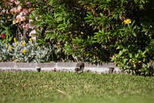 Baby Masked Lapwing Chick Walking On Green Grass.