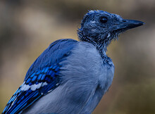 Bluejay With Wet Head