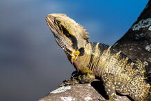 Close-up Of An Eastern Water Dragon Intellagama Lesueurii Lesueurii On A Log Next To A River