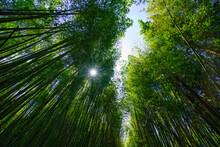 The Sunlight Penetrates The Green Bamboo Forest. Bihushan Tea Garden, Meishan Township. Chiayi County, Taiwan. Sep. 2021