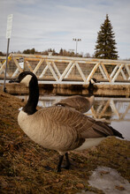 Two Geese At Lily Creek Park In Sudbury Ontario