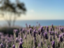 Close-up Of Lavender With Sea And Gum Tree  In Background
