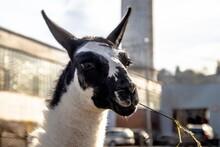 Close-up Of A Lama