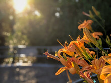 Orange Flowers In The Sunlight