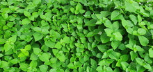 Leaves Oval Or Triangular With Pointed Leaves Are Bright Green. Of A Herbaceous Plant Called The Chinese Violet Or Creeping Fox. Scientific Name: Asystasia Gangetica (L.) T. Anders.can Be Used To Cook