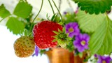 Fototapeta Kawa jest smaczna - Close-up Of Red Berries Growing On Plant