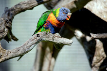 The Rainbow Lorikeet Has A Growth On Its Beak