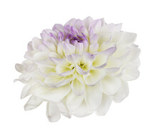 White And Purple Dahlia Flower Isolated