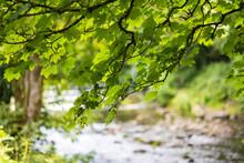 Green Leaves Over The River Tavy Tavistock Devon
