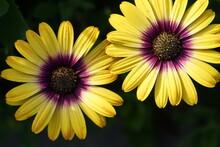 Yellow And Purple Flowers,plant, Flowers, Summer, Macro, Daisy, Blossom, Flora, Petal, Spring, Orange, Bloom, Sunflower, Petals, Close-up, Closeup, Beauty, Beautiful, Single, Floral,