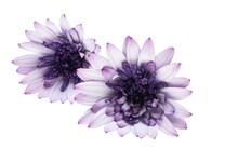 Osteospermum Daisy Or Cape Daisy Flower Isolated