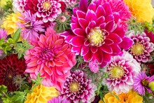 Seasonal Summer Or Autumn Background. Bouquet Or Composition Of Flowers Of Dahlias, New England Asters, Red, Purple And Yellow Shades Or Warm Tones. Greeting Card With Anniversary, Teacher's Day