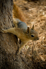 Squirrel On The Tree In The Nature Close Up View
