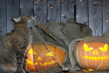 A Cat Is Playing Halloween Among The Pumpkin Lanterns In The Closet.
