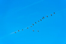 Geese Flying In A Bright Blue Sky In Sunlight Over Wetland In Summer, Marker Wadden, Lelystad, Flevoland, The Netherlands, September 20, 2021