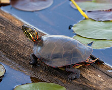 Painted Turtle Stock Photo And Image. On A Log In The Pond With Lily Pad Pond, Water Lilies, Displaying Its Turtle Shell, Head, Paws In Its Environment And Habitat. Turtle Image. Picture. Portrait.