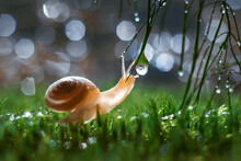 Closeup Shot Of A Little Land Snail On Green Grasses With Dewdrops