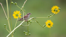 Female Bunting On Yellow Flower