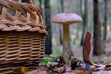 Group Of Leccinum Scabrum (rough-stemmed Bolete, Scaber Stalk, Birch Bolete) Growing In Forest - Edible And Tasty Mushrooms. Wicker Basket And Pocket Knife Next To It.