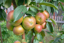 Apples Ripen On A Columnar Apple Tree, Many Apples Turn Red On The Branches Of The Tree