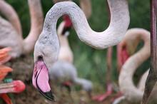 Close Up Of A Pink Flamingo