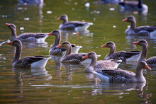 Greylag Geese In The Lake.Park In Fürth, Germany, During Autumn Season