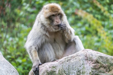 Beautiful Barbary Macaque Monkey In A Park