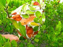 Nest Of Green Weaver Ants (Oecophylla), Queensland, Australia.