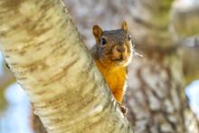 Eastern Fox Squirrel (Sciurus Niger) Resting On A Branch.