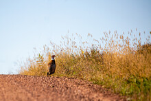 Ring-necked Pheasent (Phasianus Colchicus) Standing On A Gravel Road In Wisconsin