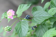 Lantana Flowers. Verbenaceae Evergreen Plants. The Flowering Time Is From May To October.