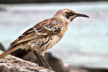 Galapagos Finch On A Branch