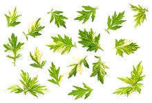 Fresh Variegated Mugwort Herb Leaf Isolated On The White Background, Top View