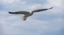 A Seagull Flies In The Sky With Clouds.